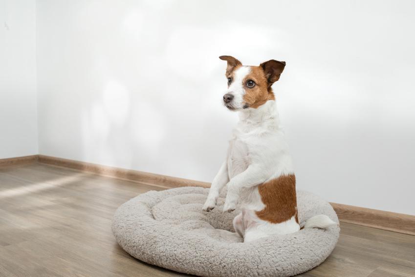 Pies siedzący na legowisku w domu, a także polecane najlepsze legowisko dla psa i jego zakup