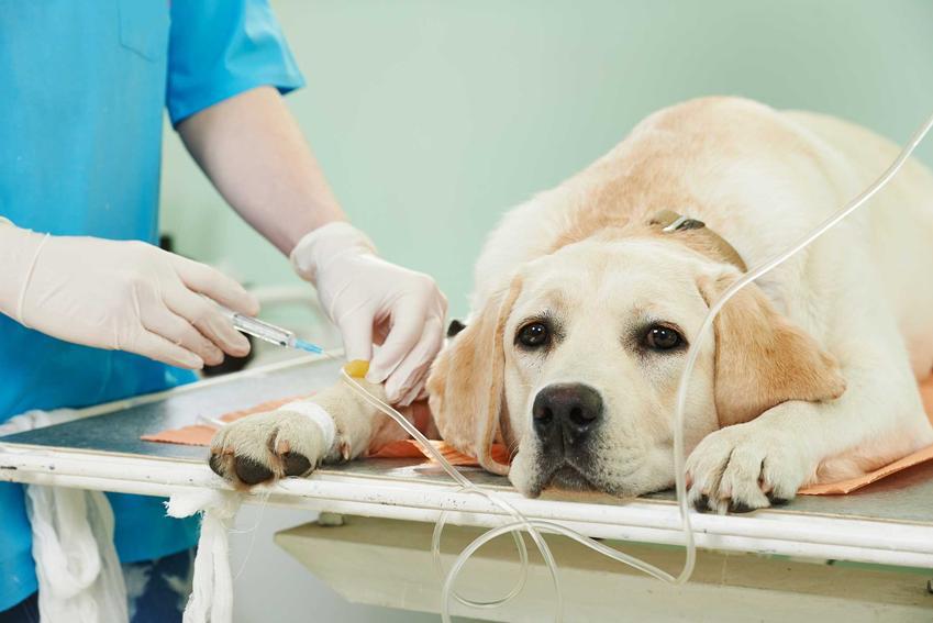 Pies u weterynarza podczas kroplówki, leczony z zespołu Cushinga, a także objawy i przebieg choroby u psów, diagnostyka, leczenie oraz powikłania