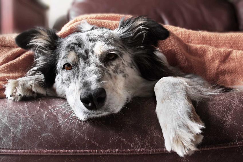 Starszy pies chory na zespół Cushinga, a także diagnostyka, leczenie choroby, powikłania, objawy choroby i leczenie