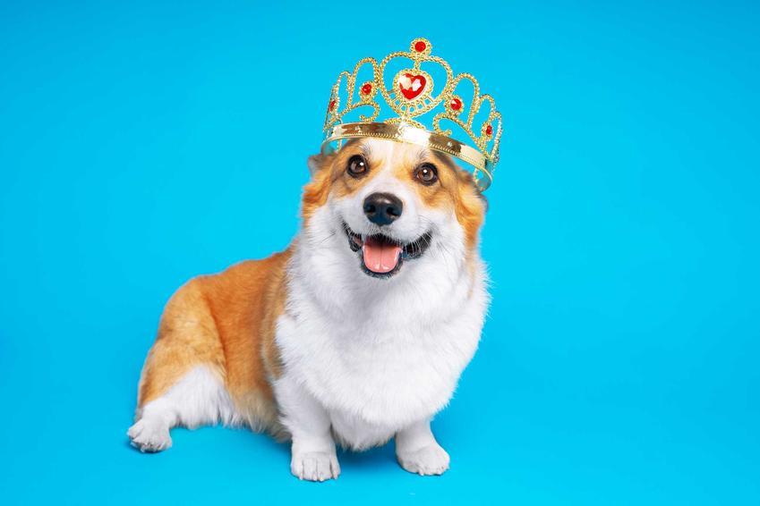 Pies corgi w koronie na niebieskim tle, a także ukochane psy królowej Elżbiety II, czyli corgi i inne psiaki należące do władczyni