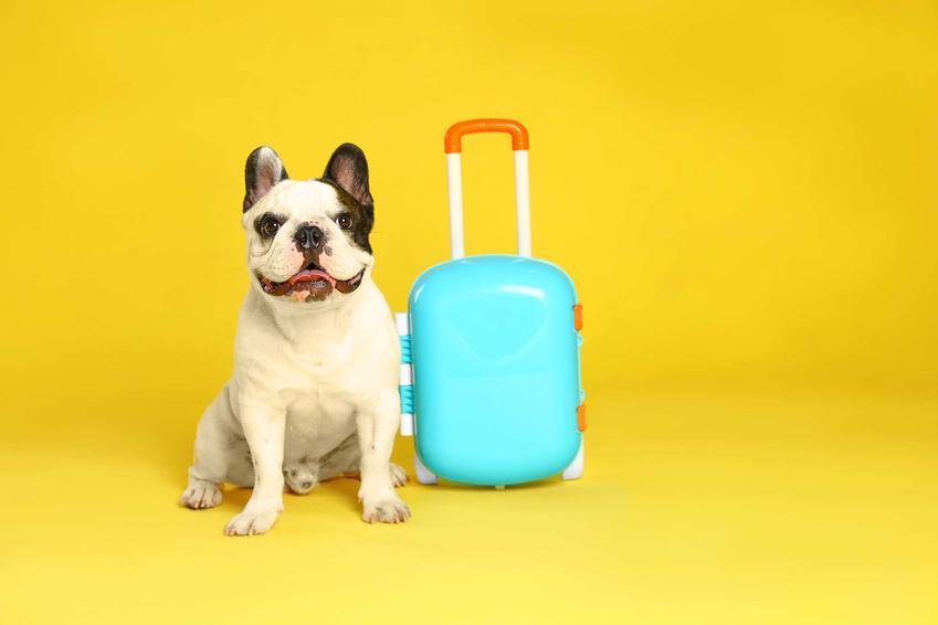 Pies buldog obok niewielkiej walizki w morskim kolorze, a także informacje o hotelach dla psów, najlepsze pomysły, wady i zalety