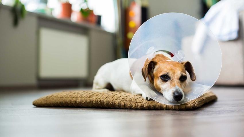 Mały pies leżący na dywaniku w kołnierzu dla psa, a także opis, zastosowanie, ceny, modele oraz najważniejsze informacje