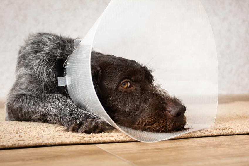 Pies owczarek w kołnierzu dla psów po operacji, a także opis kołnierzy, zastosowanie, modele, ceny oraz inne informacje