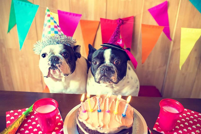 Małe psy przy torcie dla psów, a także z czego zrobić tort dla psa, 3 najlepsze pomysły na torty dla psów