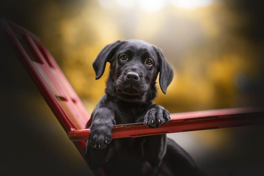 Szczeniak labradora siedzący na leżaku w ogrodzie, a także cena szczeniaka z rodowodem