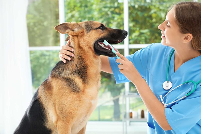 Weterynarz podczas czyszczenia kamienia nazębnego u psa, a także usuwanie kamienia nazębnego krok po kroku, najlepsze sposoby
