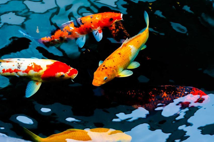 Kolorowe karpie Koi pływające w oczku wodnym, a także żywienie ryb Koi, rozmnażanie, wymagania i pielęgnacja