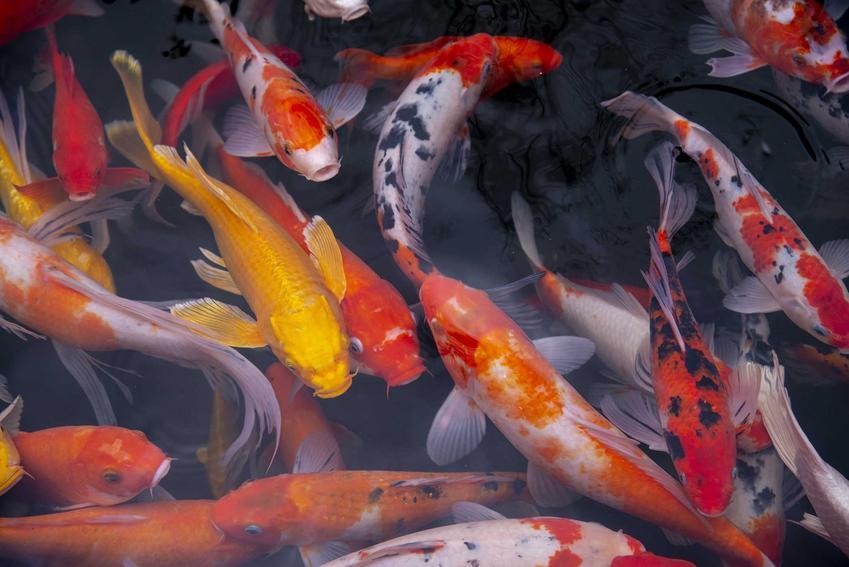 Kolorowe karpie japońskie, czyli ryby Koi w oczku wodnym, a także informacje o gatunku, wymagania żywienia, zastosowanie, wygląd i opis