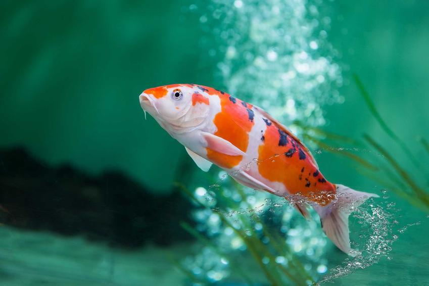Biało-czerwona rybka koi w akwarium, czyli charakterystyka karpii koi, a także wymagania, cena, porady dla właścicieli