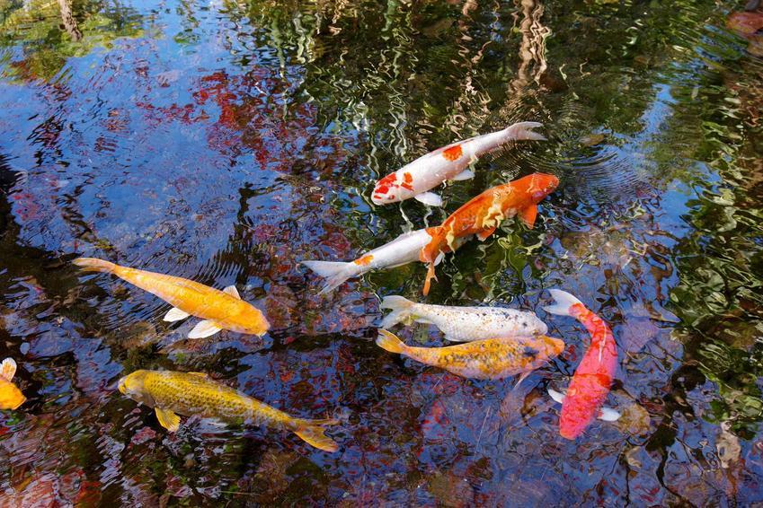 Ryby koi, czyli karpie koi w oczku wodnym, a także charakterystyka, wygląd, kolory, ceny i wymagania ryb koi