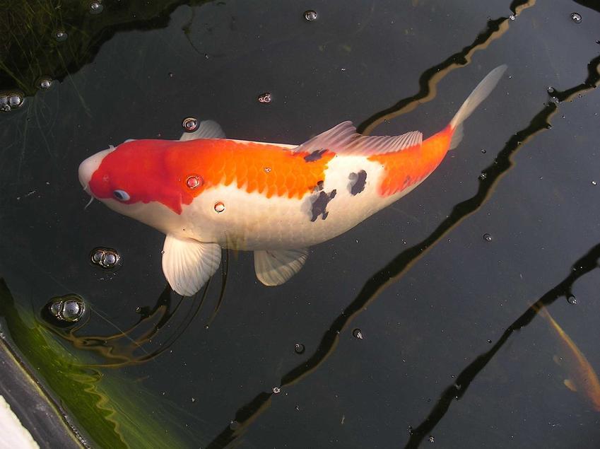 Mała rybka karp koi w akwarium, a także jaka jest cena rybek koi krok po kroku