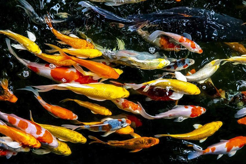 Karpie koi, czyli ozdobne ryby do oczka wodnego, a także cena karpia koi w sklepie akwarystycznym krok po kroku