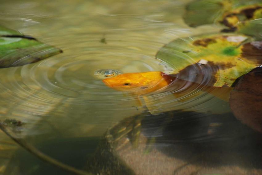 Karaś ozdobny w akwarium o żółtym kolorze pływający w oczku wodnym, a także opisy, ceny oraz wymagania krok po kroku i opinie o hodowli