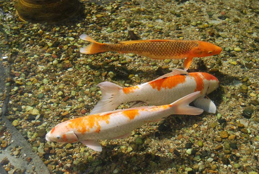 Biało-pomarańczowe ryby pływające na dnie oczka wodnego, a także inne gatunki ryb idealnych do oczka wodneg - najpopularniejsze gatunki
