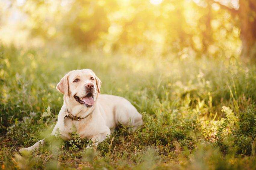 Labrador biszkoptowy w lesie na tle słońca, a także usposobienie psa rasy retriever