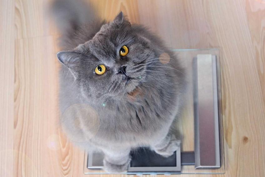 Kot siedzący na wadze łazienkowej, a także otyłość u kota - skutki i przyczyny, leczenie, zapobieganie oraz dieta dla kotów krok po kroku
