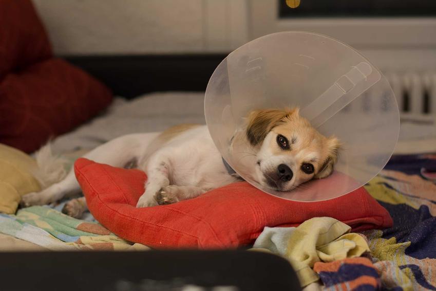 Pies w kołnierzu pooperacyjnym po zabiegu sterylizacji, a także sterylizacja psów krok po kroku - najważniejsze informacje, jak wygląda zabieg
