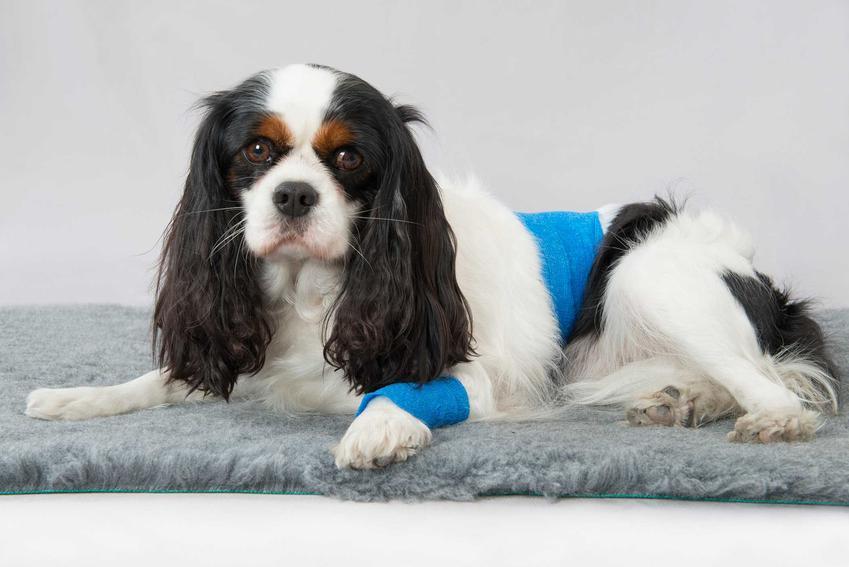 Pies po operacji sterylizacji leżący w specjalnym ubranku na dywanie, a także przebieg zabiegu i jak wygląda sterylizacja krok po kroku
