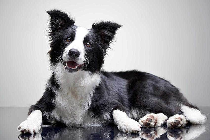 Border collie o czarno-białej sierści leżący na podłodze, a także TOP 15 najbardziej inteligentnych ras psów