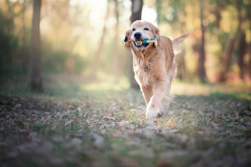 Golden Retriver biegający z zabawką w pysku po lesie, a także TOP 15 najbardziej inteligentnych ras psów