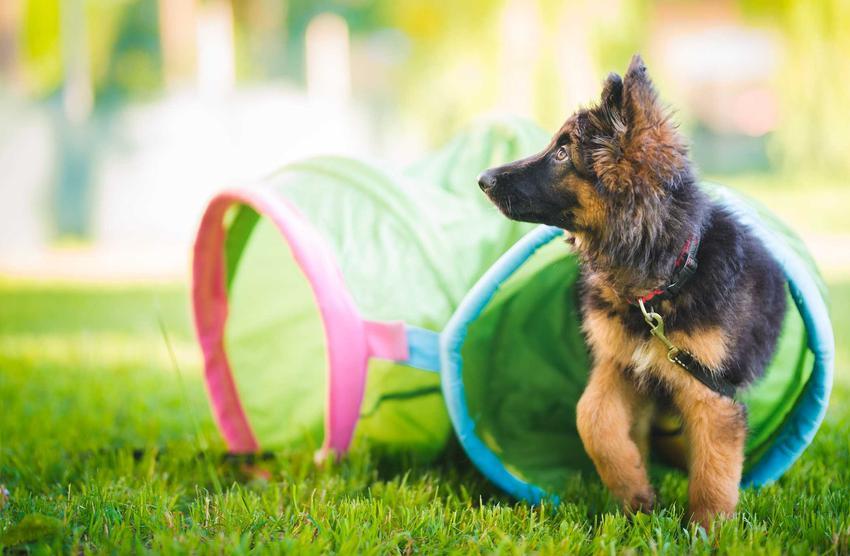 Mały owczarek niemiecki w czasie treningu, a także TOP 15 najbardziej inteligentnych ras psów