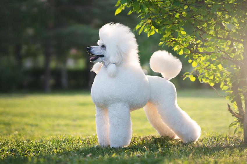 Pudel o białej sierści i charakterystycznym cięciu na trawie w parku, a także TOP 15 najbardziej inteligentnych ras psów