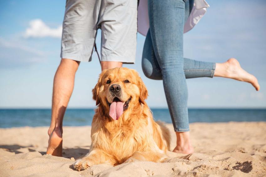 Duży pies Golden Retriver na plaży, a także informacje, gdzie w Polsce znajdują się plaże dla psów nad Bałtykiem