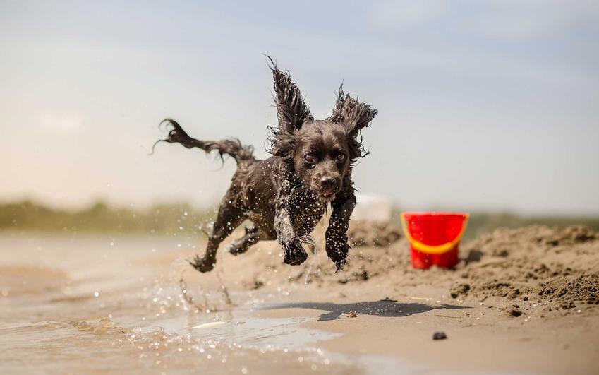 Pies biegający po plaży nad brzegiem morza, a także plaże dla psów w Polsce - miejsca, gdzie można wprowadzać psy nad Bałtykiem