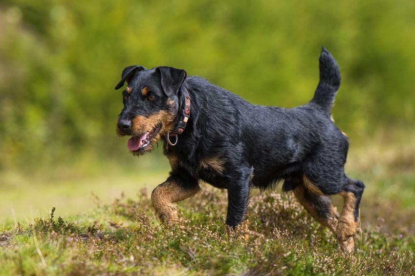 Jagdeterrier, niemiecki terier myśliwski biegnący po trawie, a także opis psa tej rasy, charakterystyka, wymagania i pielęgnacja