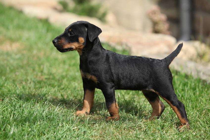 Szczenię psa rasy jagdterrier, czyli niemiecki terier myśliwski, a także jego opis, charakter, wygląd, wymagania i usposobienie