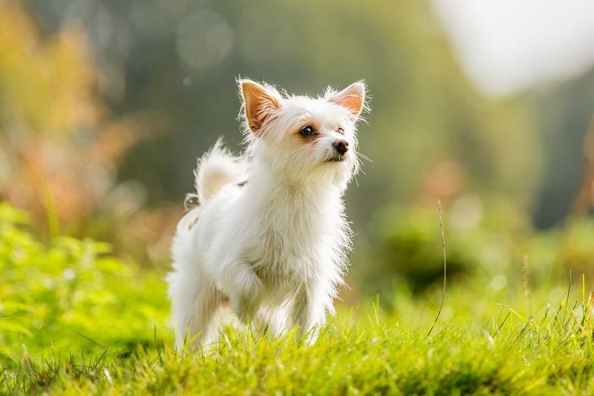 Chorkie biegający po trawie, a także pochodzenie, ceny, opis psów oraz usposobienie psa rasy chorkie