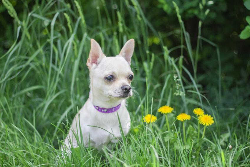 Pies rasy chorkie siedzący w trawie przy mniszkach lekarskich, a także pochodzenie rasy, opis wyglądu, usposobienie oraz ceny szczeniąt chorkie