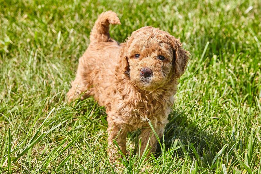 Mały pies rasy Mini goldendoodle na trawie, a także opis rasy, jej charakter, usposobienie oraz pielęgnacja i porady dla właścicieli