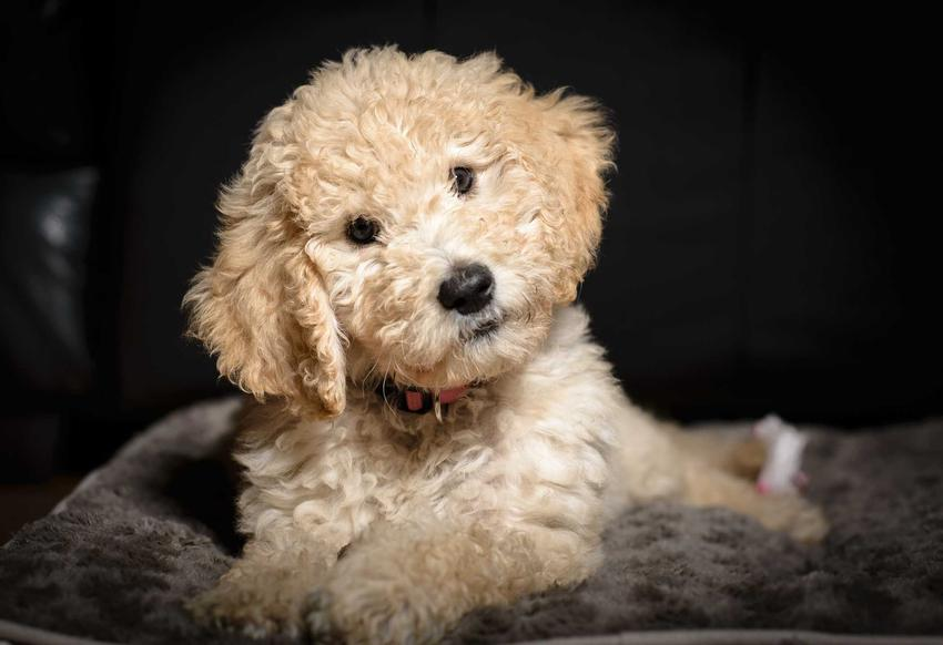 Kudłaty pies goldendoodle w hodowli dla psów, a także informacje, czym wyróżnia się dobra hodowla goldendoodli