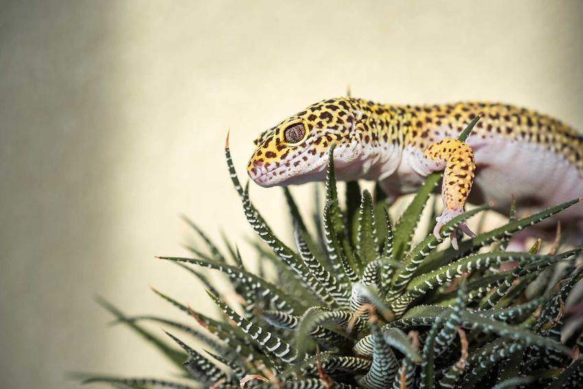 Gekon lamparci wspinający się na roślinę, a także wymagania gekonów, zastsowanie, hodowla w domu w terrarium