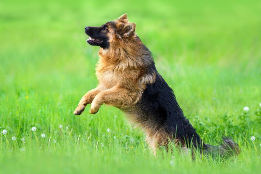 Owczarek niemiecki długowłosy podczas spaceru skaczący na trawniku, a także jego charakter