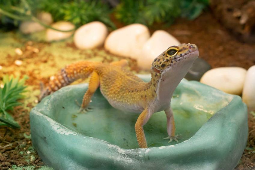 Gekon lamparci kąpiący się w pojemniku na wodę w terrarium, a także terrarium gekona lamparciego, wymiary, wielkość i wyposażenie