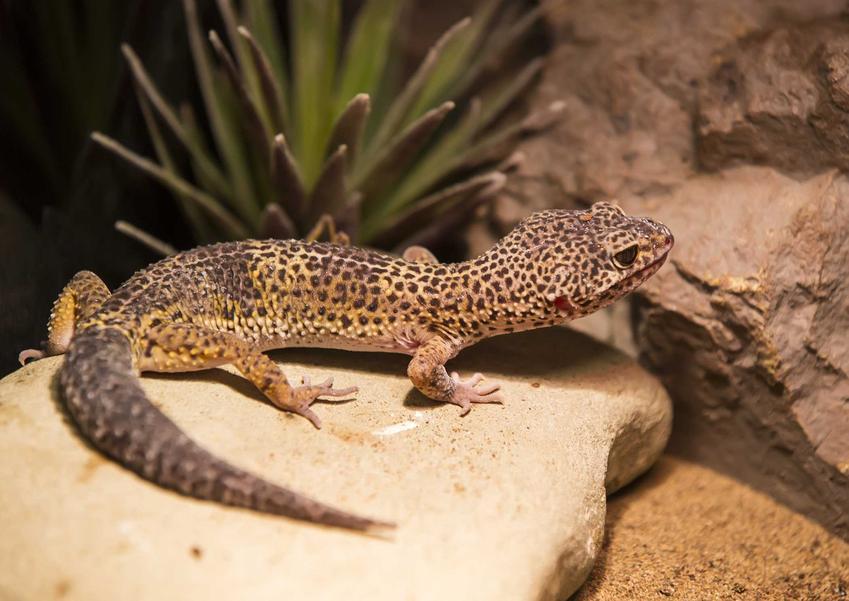 Gekon lamparci wylegujący się na skale, a także terrarium dla gekona lamparciego, wymagania zwierzęcia oraz wymiary i wielkość terrarium