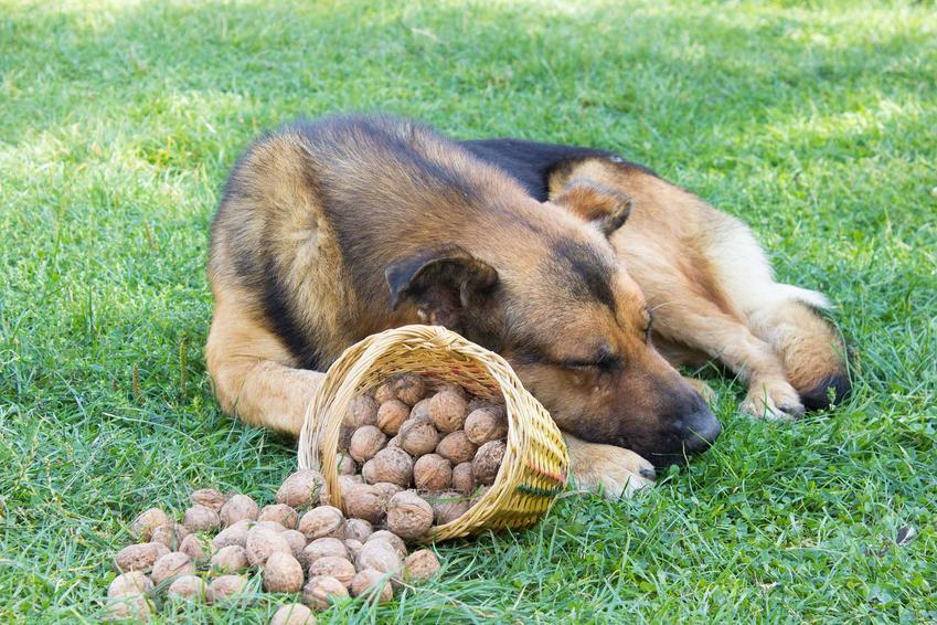Pies owczarek leżący obok koszyka, z którego wysypują się orzechy włoskie, a także czy pies może jeść orzeczy i różne rodzaje orzechów