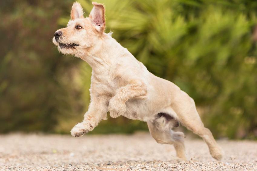 Pies o biszkoptowej sierści skaczący na plaży, a także informacje, co na stawy dla psa, najlepsze preparaty na wzmocnienie stawów u psa