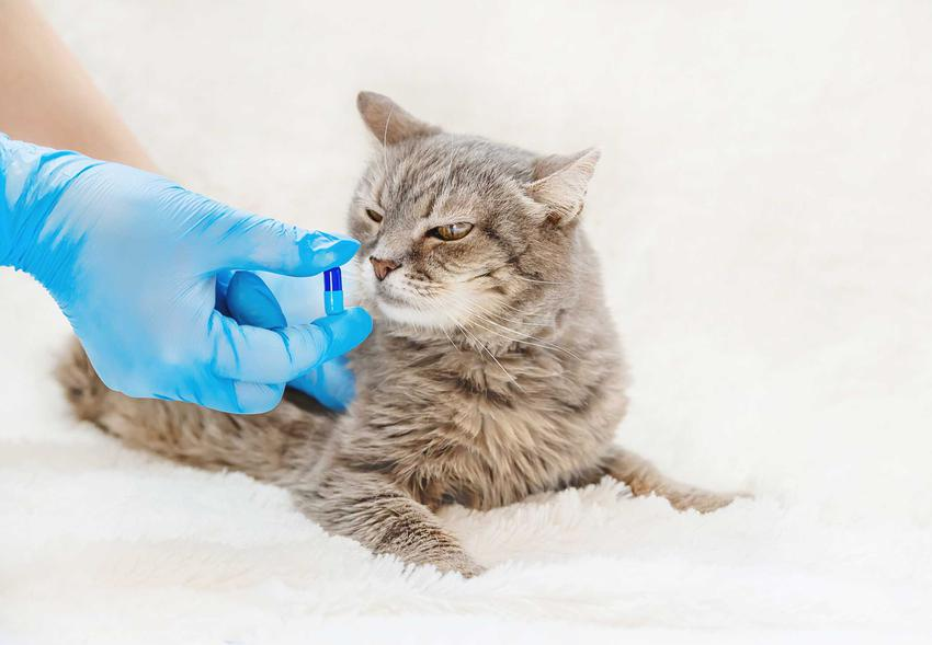 Weterynarz podaje kotu tabletkę w rękach, a także informacje, jak podawać kotu tabletki i inne leki krok po kroku