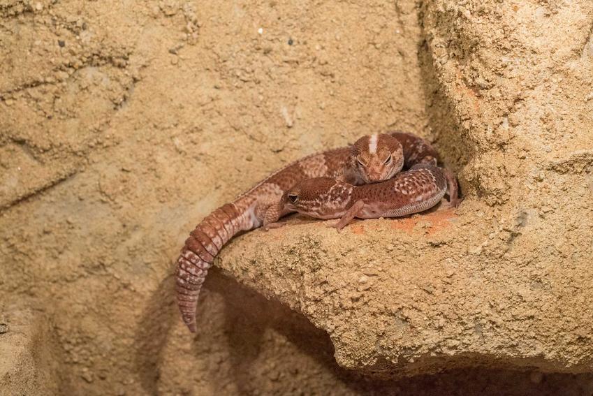Dwa gekony gruboogonowe przytulone na półce skalnej w terrarium, a także gekon gruboogonowy, opis, wymagania i porady dla hodowców