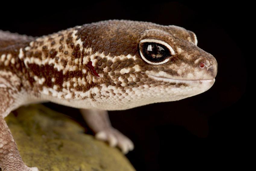 Głowa gekona gruboogonowego w brązowym kolorze, a także opis zwierzęcia, jego wymagania, karmienie i hodowla