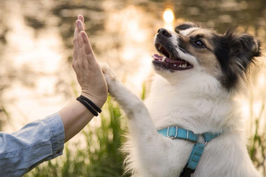 Pies przybija piątkę właścicielce, a także informacje, jak nauczyć psa komend, porady i wskazówki dla właścicieli