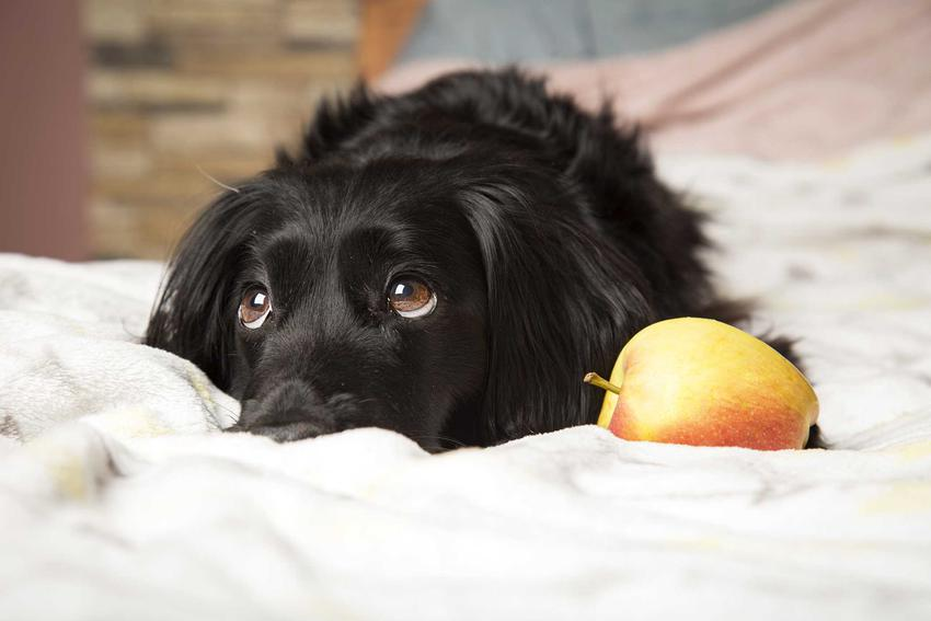 Pies leżący na pościeli podczas wykonywania komendy zostaw, a także jak nauczyć psa komend, podstawowe zasady i praktyczne porady