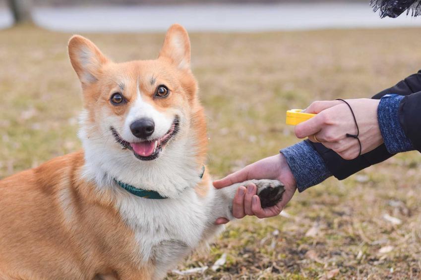 Pies corgi podający łapkę właścicielowi podczas treningu z klikerem, a także działanie treningu z klikerem krok po kroku