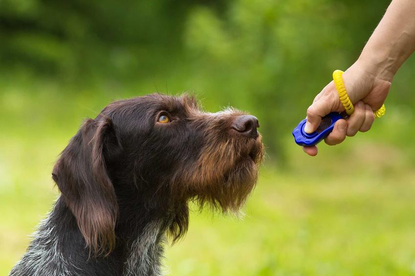 Pies terier podczas treningu z klikerem, a także informacje, jak przeprowadzić trening z klikerem i jak działa kliker