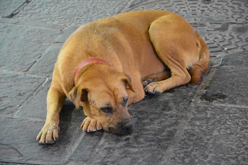 Chory pies leżący na ulicy, a także informacje, jak się zachować w czasie spotkania z chorym psem lub rannym psem