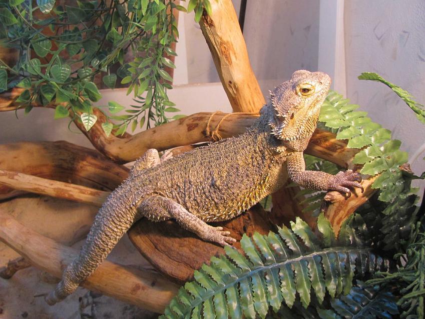 Agama brodata w terrarium, a także jak wyposażyć terrarium dla agamy brodatej, wymiary, wyposażenie, wymagania zwierzęcia