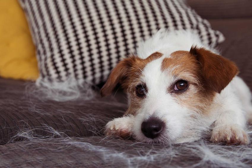 Pies Jack Russel Terier gubiący sierść, która przykleiła się do kanapy, a także dieta dla psa i kota w czasie lienienia i gubienia sierści
